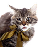 Portrait of an angry cat with a bow Royalty Free Stock Photos