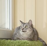 Portrait of angry cat. Portrait of young grey cat sitting in terrace stock photography