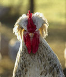 Portrait of angry cock Royalty Free Stock Image