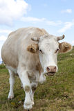 Portrait of a angry cow Royalty Free Stock Photos
