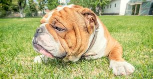 Angry Bulldog Stock Images - Download 409 Royalty Free Photos
