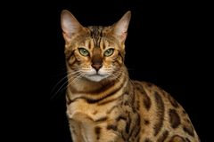 Adorable breed Bengal Cat isolated on Black Background. Portrait of Angry Gold Bengal Cat Gazing on isolated Black Background, front view Royalty Free Stock Photography