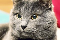 Portrait of angry gray cat Stock Photos
