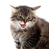 Portrait of an angry hissing cat. Royalty Free Stock Photo
