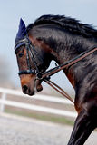 Portrait of an angry horse. In a bridle on an arena Royalty Free Stock Photography