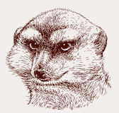 Portrait of an angry mongoose Stock Photo