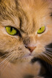 Portrait of an angry red cat Stock Images