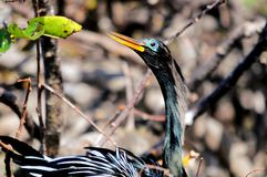 Portrait of Anhinga in nest in wetlands Stock Images