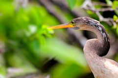 Portrait of anhinga  in wetlands Stock Photography