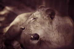 Portrait the animal African lioness Stock Images