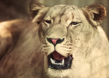 Portrait the animal African lioness Royalty Free Stock Photography