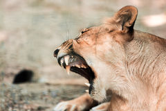Portrait the animal African lioness Stock Photos