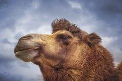 Portrait of an animal, camel. stock photos