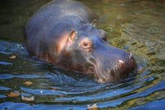 Portrait animal d'hippopotame tout en nageant image stock