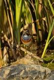Portrait animal d'une gorge bleue se reposant sur une pierre dans le roseau Images libres de droits