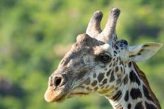 Portrait animal de détail de tête de plan rapproché de faune de girafe photo libre de droits