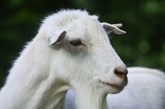 A portrait of an animal. Portrait of a goat. Taken in a recreative park in italy stock images