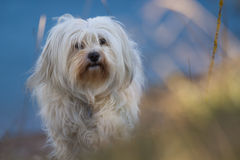 Portrait animal Havanese Photo stock