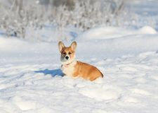 Portrait of the animal little red Corgi puppy walks in the Sunny winter pack in deep white snow royalty free stock image
