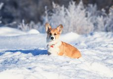 portrait of the animal little red Corgi puppy walks in the Sunny winter pack in white snow royalty free stock images