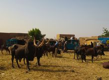 Portrait of ankole-watusi bighorned bull, Agadez cattle market, Niger