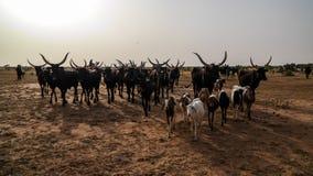 Portrait of ankole-watusi bighorned bull at InGall village, Agadez, Niger