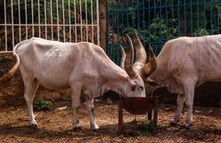 Portrait of ankole-watusi bighorned bull, Niamey, Niger