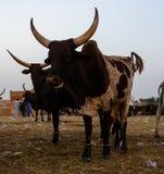 Portrait of ankole-watusi bighorned bull at Zinder cattle market, Niger