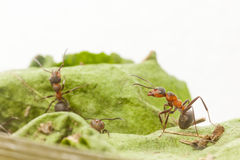 Portrait of ant Stock Photography