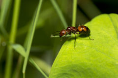 Portrait of  Ant Royalty Free Stock Photography