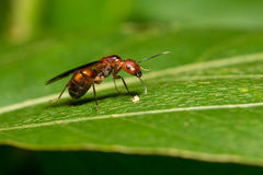 Portrait of  Ant (with wings)  - Camponotus habereri Stock Photography