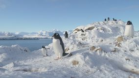 Portrait antarctique de plan rapproché de faune de pingouin de Gentoo banque de vidéos