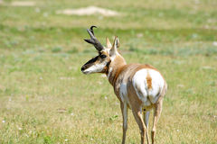 Portrait of an Antelope Royalty Free Stock Images