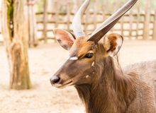 Portrait of antelope in the park.  Royalty Free Stock Photo