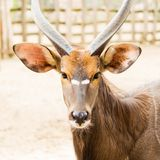 Portrait of antelope in the park.  Stock Photos