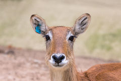Portrait of antelope with the sharpness on the eyes Stock Photos