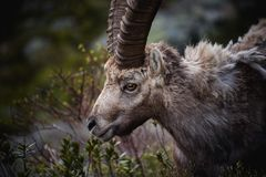 Portrait of antler Alpine Ibex, Capra ibex, with rocks in background, Royalty Free Stock Images