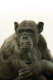 Portrait of ape. Portrait of black ape with white background Stock Photos