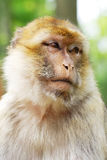 Portrait of an ape/monkey. Barbary Macaque (Macaca sylvanus). Monkey from Algeria and Morocco royalty free stock photos