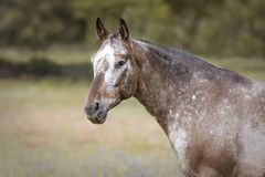 Portrait of an Appaloosa horse stock images