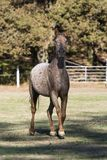 Appaloosa horse galloping towards the camera in a fenced field stock images