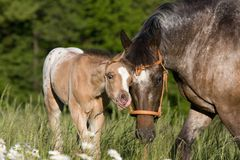 Portrait of appaloosa mare with foal Royalty Free Stock Photos
