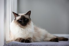 Chocolate Balinese Cat. Portrait of an apple-headed chocolate balinese cat Stock Photo