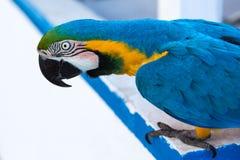 Portrait of ara parrot Stock Image