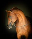 Portrait Arabe de cheval de châtaigne sur le fond noir Photographie stock libre de droits