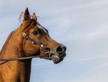 Portrait Arabe de profil de cheval images libres de droits