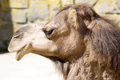Portrait Arabian camel, Camelus dromedarius Stock Photos