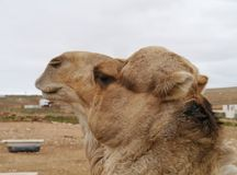 A portrait of an Arabian camel Royalty Free Stock Photography