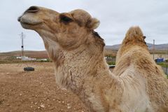A portrait of an Arabian camel Stock Photo