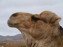 A portrait of an Arabian camel Royalty Free Stock Image